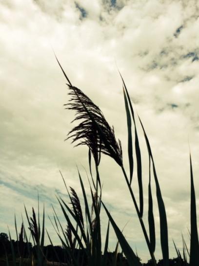 prairie plume